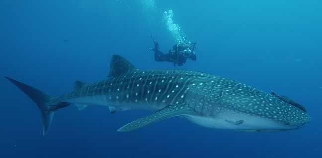 Requin-Baleine-4