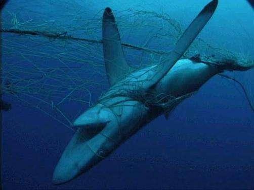 shark-finning2