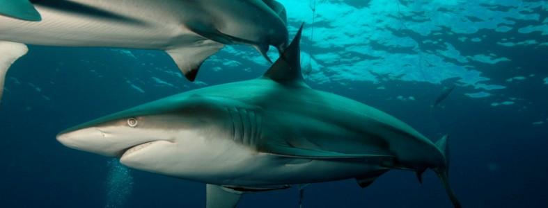 4666l-requin-borde-carcharhinus-limbatus