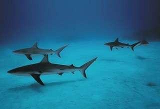 Carcharhinus_limbatus,I_RR2601