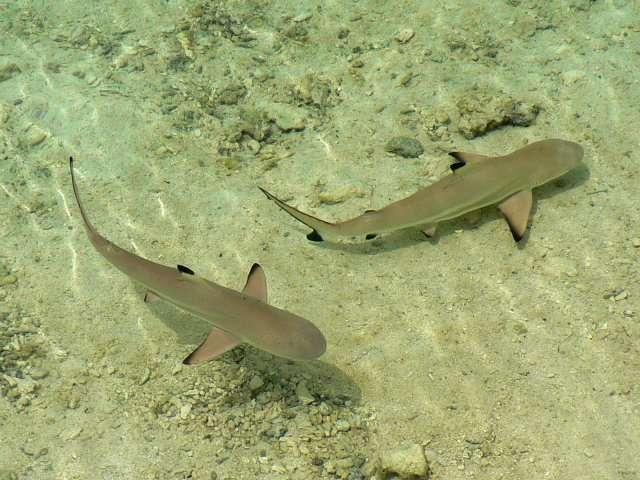 59- Bebes requins sur le rivage de Nao-Nao
