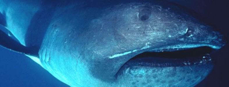 Le requin grande-gueule est une espèce rarissime.