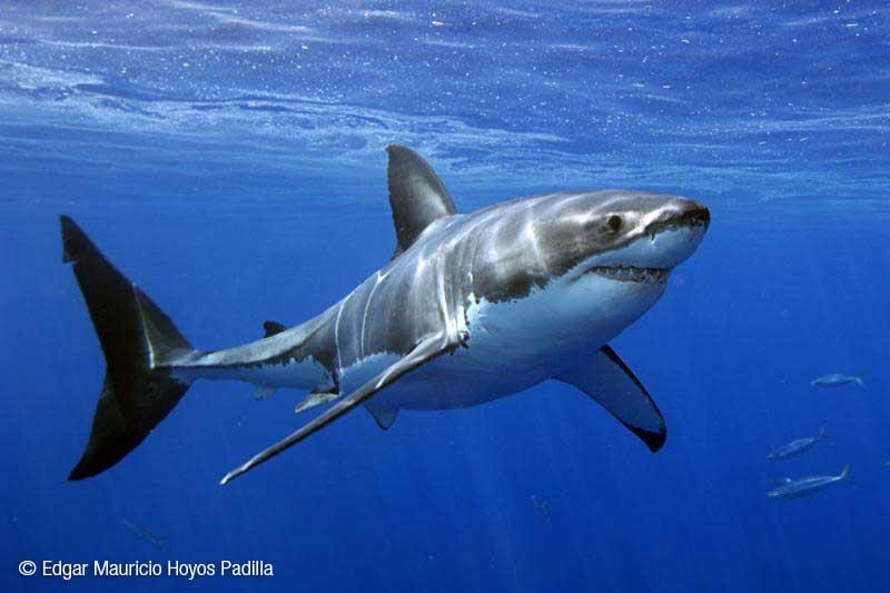 la connectivit u00e9 entre groupes de requins blancs