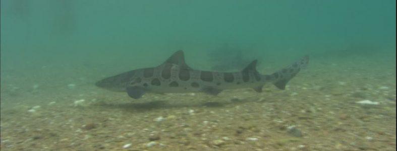 457906922-virli-leopard-channel-islands-de-californie-canal-de-santa-barbara-grand-requin-blanc