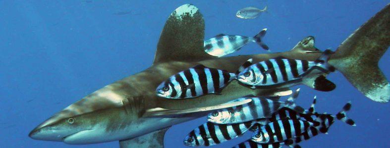 Carcharhinus_longimanus_1
